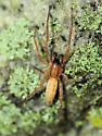 Spider - Hibana gracilis