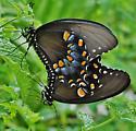 Spicebush Swallowtail (Pterourus troilus) - mating pair - Papilio troilus - male - female