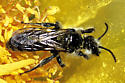 Halictidae, Rophitini on Barrel Cactus 27 Mar 2005 Sentenac Cienega - Dufourea echinocacti - male