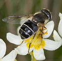 Syrphid - Eristalis obscura - female