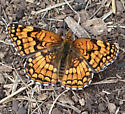 Butterfly - Chlosyne