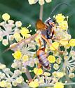 Wasp - Isodontia elegans - male