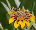 lubber - Romalea microptera - male