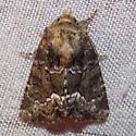 Marbled Minor - 9415.1 - Oligia strigilis