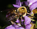male Xylocopa - Xylocopa virginica - male