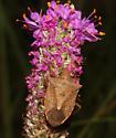 Pentatomidae - Euschistus