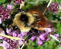 Bumble Bee - Bombus rufocinctus - female