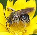 Bee - Melissodes - male