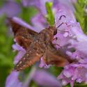 Moth, Possibly Sphinx, ID please - Enyo lugubris