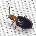 Ground Beetle - Pentagonica bicolor