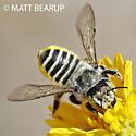 Green Eyed Leafcutter - Megachile - female