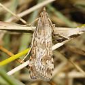 Lucerne Moth - Nomophila nearctica