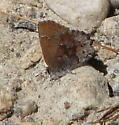 Callophrys irus