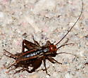 Cricket nymph - Allonemobius - male