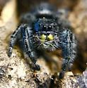 Phippidus reguis (I thing regius) - Phidippus audax - female