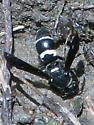 Wasp gathering mud - Pseudodynerus quadrisectus