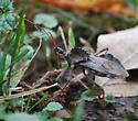 Arilus cristatus - Wheel Bug - Arilus cristatus