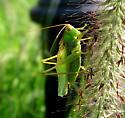 Green Grasshopper - Orchelimum vulgare - male