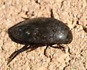 Aquatic beetle in the desert - Hydrophilus triangularis