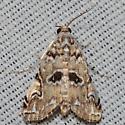Hodges #4751 – Elophila gyralis – Waterlily Borer Moth - Elophila gyralis