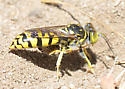 Burrowing wasp carrying prey - Steniolia