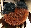 Wooly Bear - Pyrrharctia isabella