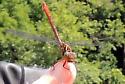 Dragonfly on Thumb - Stylurus plagiatus