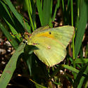 sulphur butterfly - Colias