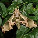 Eumorpha pandorus - Pandorus Sphinx  - Eumorpha pandorus