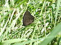 Dark butterfly with 3 white/brown spots. What am I?! - Cercyonis pegala - male