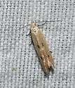 Unidentified Curved-horn Moth