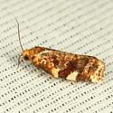 Moth - Archips argyrospila