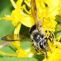 Bee - Andrena nubecula - female