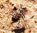 Tiger Beetle A ID - Cicindela repanda