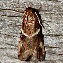 Phycitini Moth - Caudellia apyrella