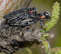 Buprestid - Chrysobothris lateralis - male - female