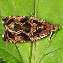Basswood Olethreutes - Hodges#2795 - Olethreutes tilianum
