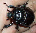 Unknown species of beetle - Strategus aloeus - female
