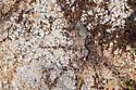 Unidentified Spider - Dolomedes