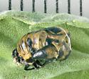 Coccinellidae, spent pupa - Coccinella septempunctata