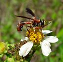 Is this a Conopid playin' Polistes? - Physocephala sagittaria - female