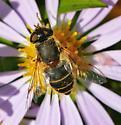 Colourful Eristalis- Fly #1 - Eristalis arbustorum - female
