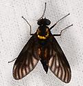 dark fly - Chrysopilus thoracicus - female