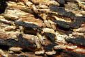 Subterranean Termites - Reticulitermes