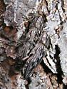 Chalcophora virginiensis - male - female