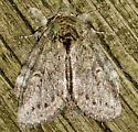 Fur Ball Moth - Heterocampa guttivitta