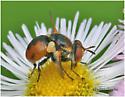 Tachinidae Fly - Gymnosoma