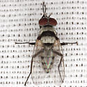 Root-Maggot Fly - Anthomyia illocata - male