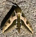 Spurge Hawkmoth - Hodges#7892 - Hyles euphorbiae