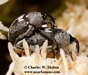 Weevils Mating - Geraeus patagoniensis - male - female